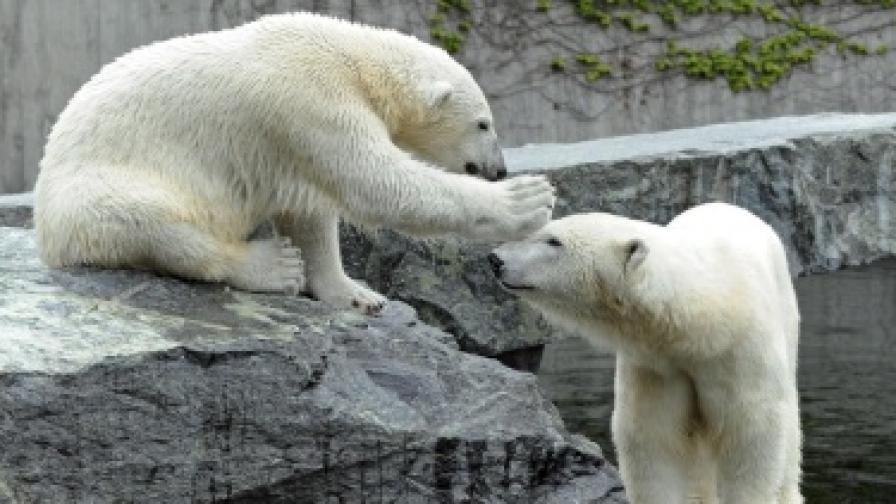 Белите мечки са се смалили