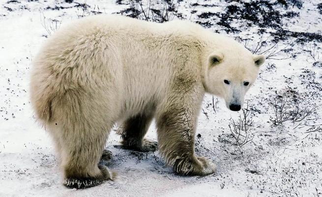 Гладните бели мечки нападат!