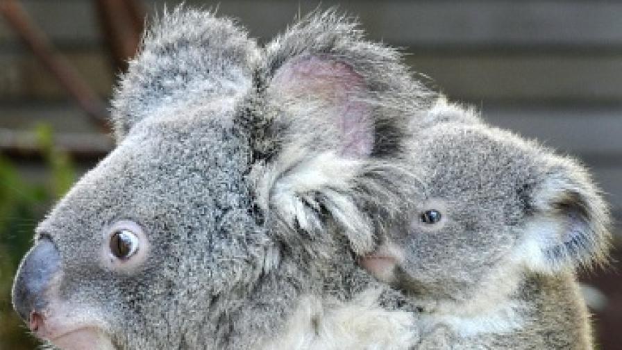 Броят на коалите е намалял драстично през последните години