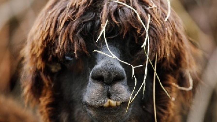 В Перу ценят ламите алпака заради вълната им