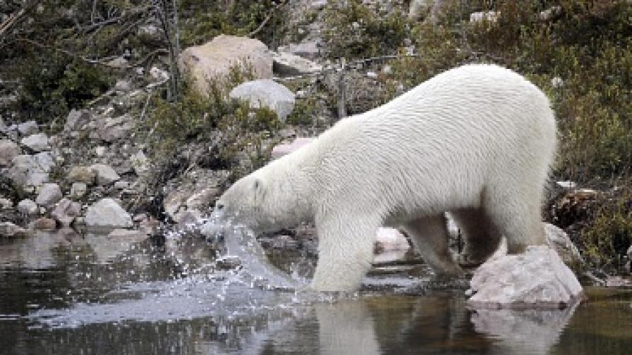 Скоро бели мечки може би ще има само в зоопарковете