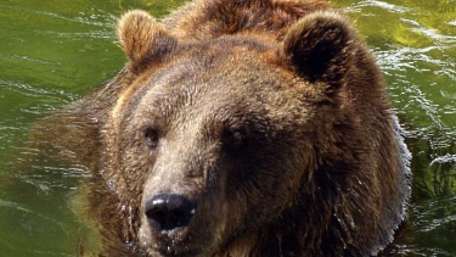 Наскоро кафява мечка уби човек в Смолянско