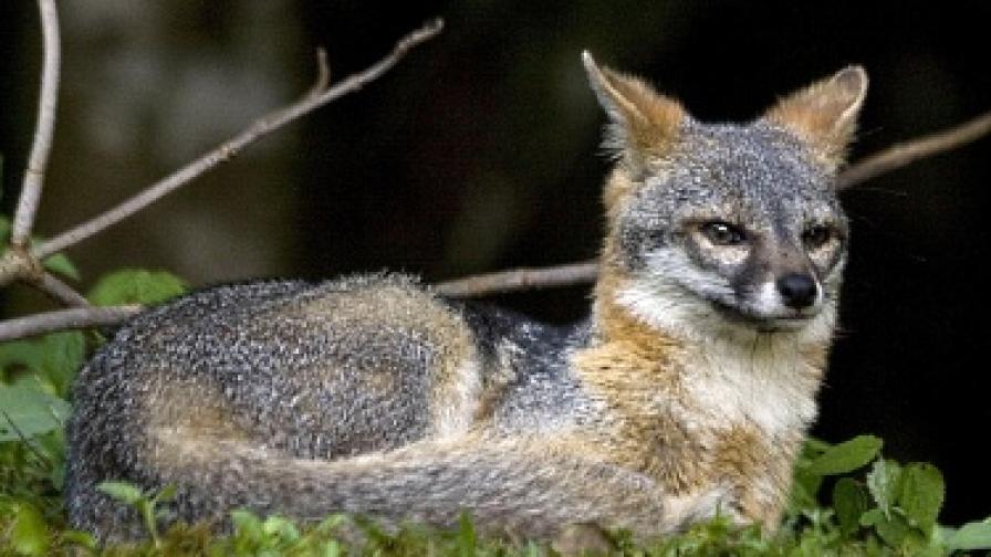 Зоолози казват, че лисиците са страхливи и рядко нападат хора