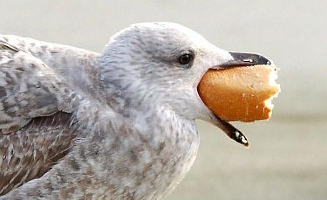 Чайките пренасят супербактерии