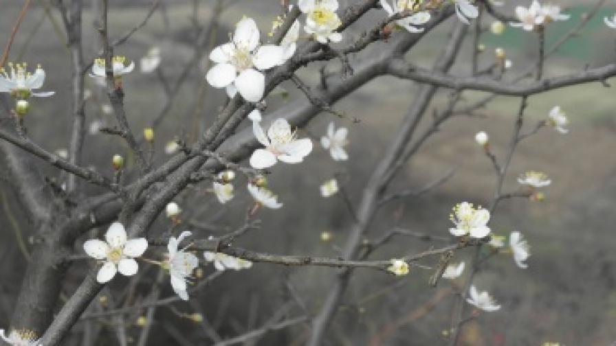 Овощните дръвчета цъфнаха в средата на ноември в с. Бараково, община Кочериново