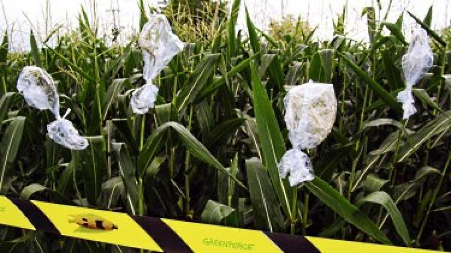 """Активисти на """"Грийнпийс"""" от Италия, Австрия и Германия протестират срещу незаконното отглеждане на генномодифицирана царевица в Пордеоне, Италия, през юли 2010 г. Те изолираха нивата, отрязаха кочаните, и опаковаха стеблата, за да задържат полените"""