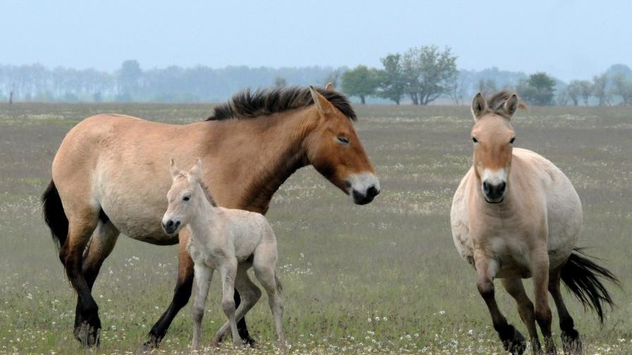 Цигански коне подлудиха уелско градче