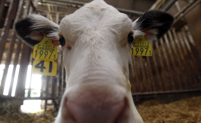 ГМО крави дават човешка кърма