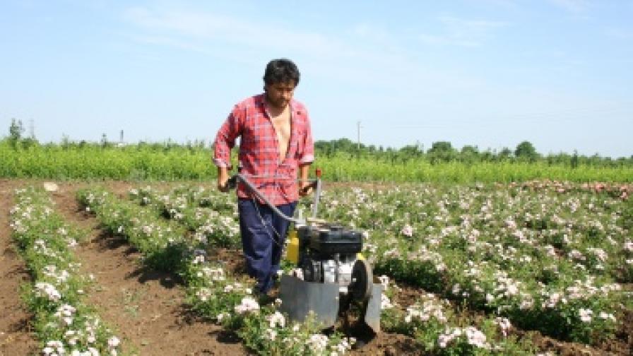 Масло от бяла роза е новият хит в Казанлък