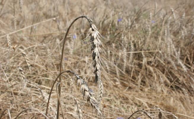 Повече и по-качествена пшеница тази година
