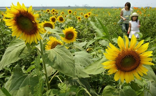 Японците садят масово слънчогледи срещу радиацията на земята