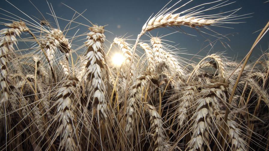 Добри новини за тазгодишната зърнена реколта