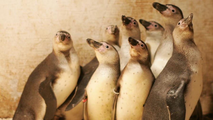 Пингвини дженто сред новите гости на зоопарка