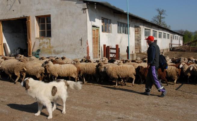 Местните български овце изчезват
