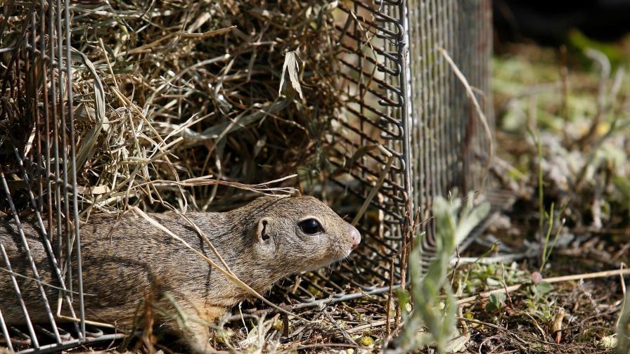 Еколози връщат лалугерите на Витоша