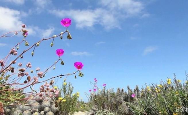 Най-сухата земя - изпъстрена с цветя