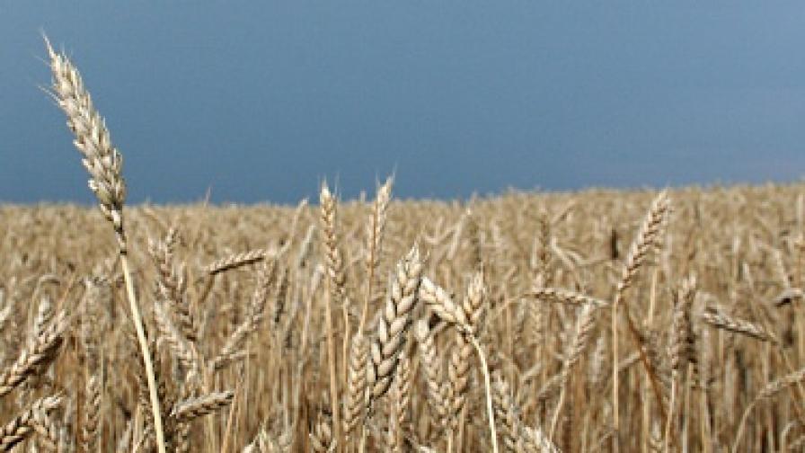 Зърнопроизводителите искат главата на Дянков