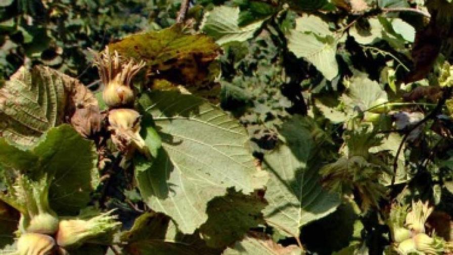Бракуваха 26 тона лешници в Аксаково