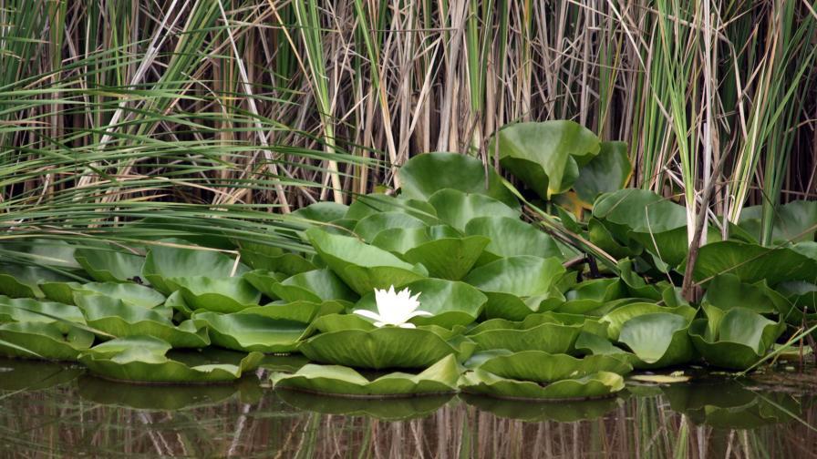 Връщат красивите и полезни водни лилии