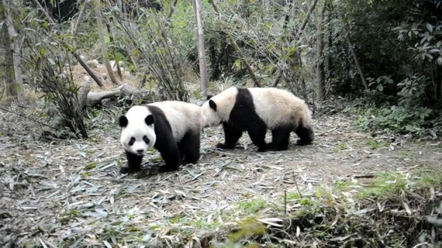 Най-скъпият чай ще е направен с изпражнения на панда
