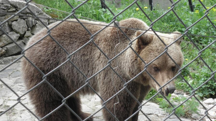 Българи спасиха системно недохранван мечок в Украйна