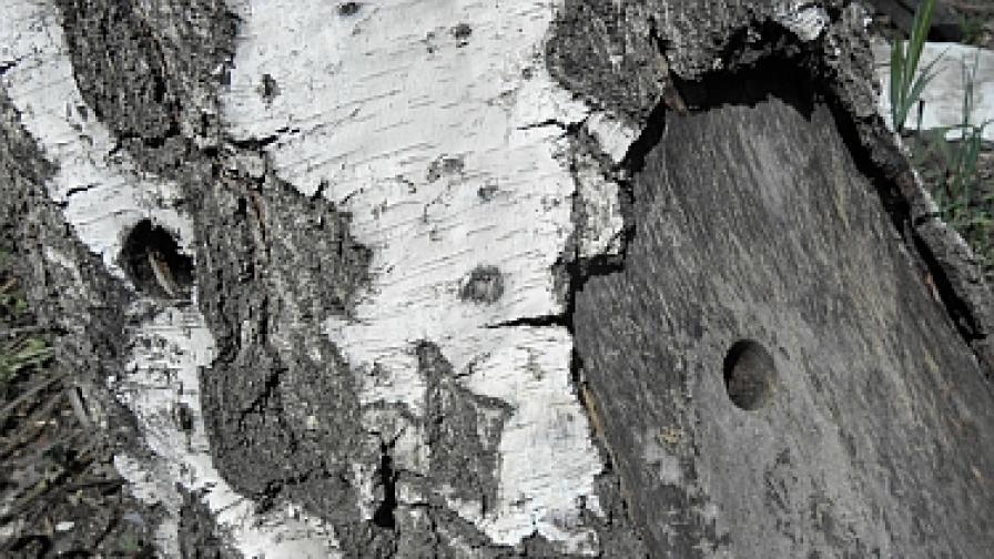 Инжектирани с хербицид дървета в Благоевград представляват опасност
