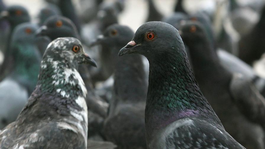 В Линц хранят гълъби с противозачатъчни