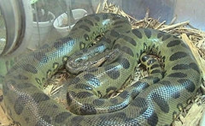 2,5-метрова змия в офиса на братя Еринини