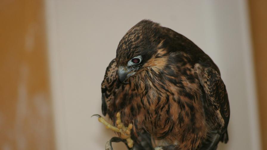 Хищните грабливи птици са най-често търгуваните незаконно у нас