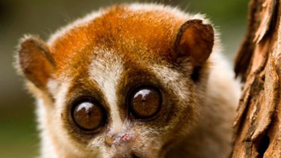 Да криеш маймунка в гащите
