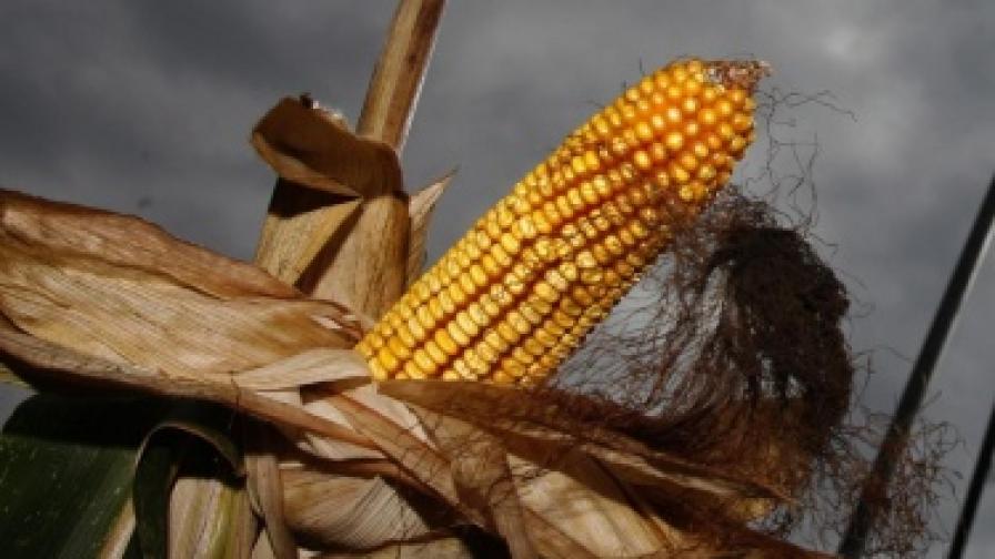ГМО-царевица предизвикала рак при плъхове