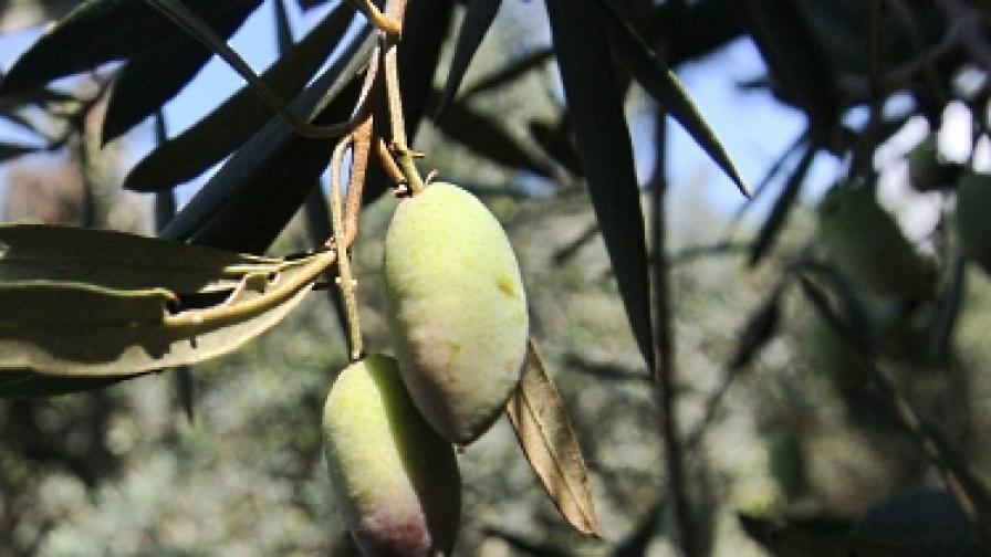 Най-старото дърво в света още дава плод