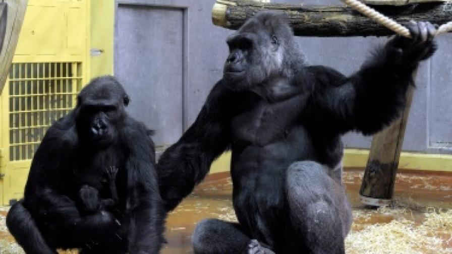 Семейство горили с току що родено бебе в зоологическата градина в Будапеща