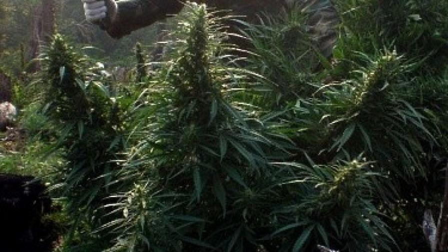 Съединени марихуански щати