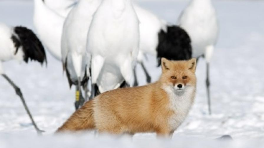 Лисицата Рокси се мисли за куче