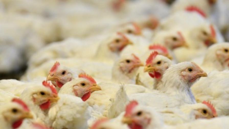 Беларус забрани вноса на пилешко от България