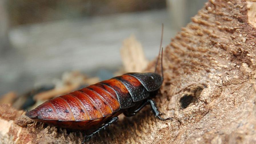 Съскащите хлебарки са добри домашни любимци