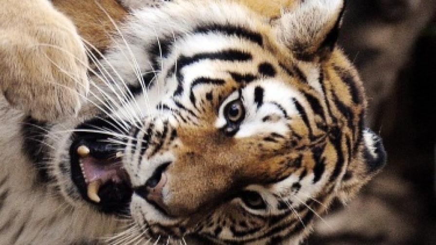 Тигър нападна и уби гледачка в зоопарк
