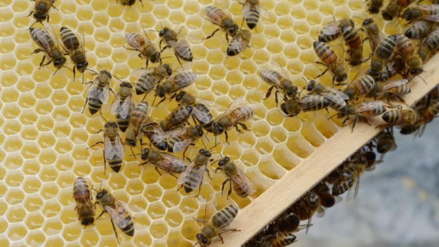 Евакуираха белградска болница заради нашествие на пчели