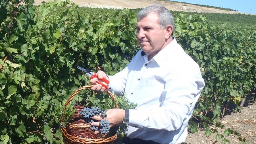 Добра реколта от грозде тази година