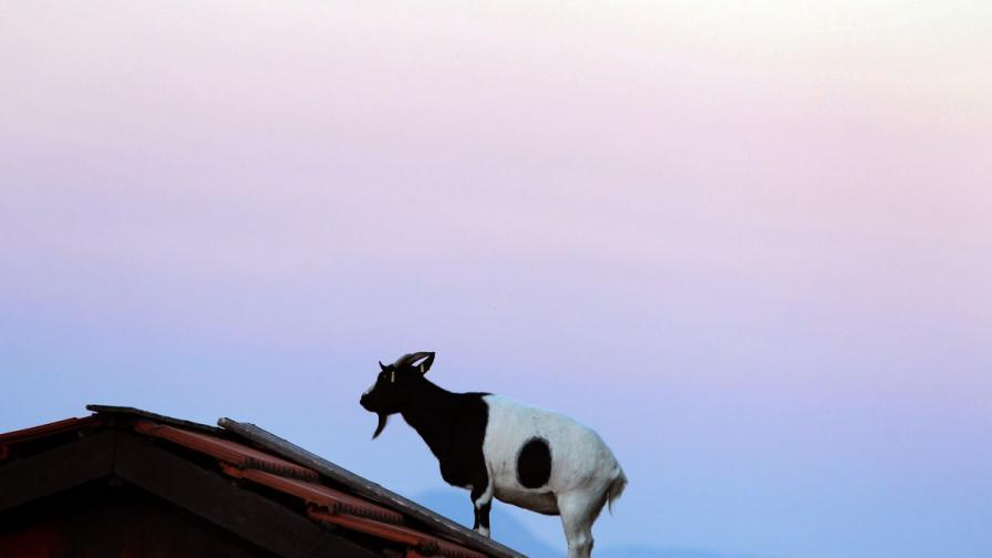 Защо един козел струва 3,5 млн. долара?