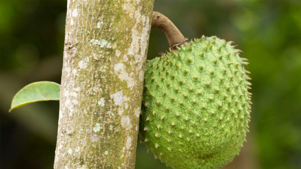 Плодът-чудо гуанабана