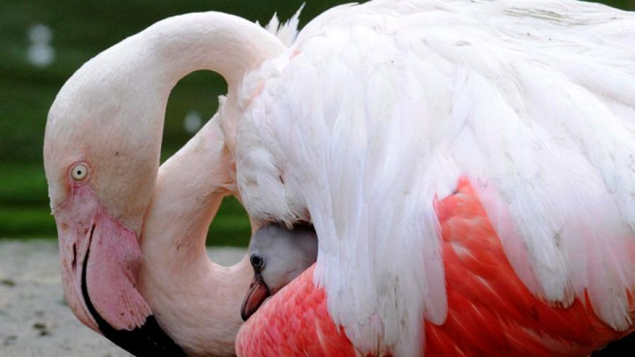 Необичайно: Какво правят розови фламинги в Бургаско?