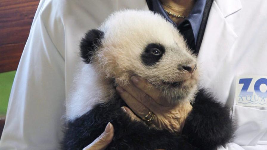 Мъничкото бебе панда, кръстено Щастлив леопард