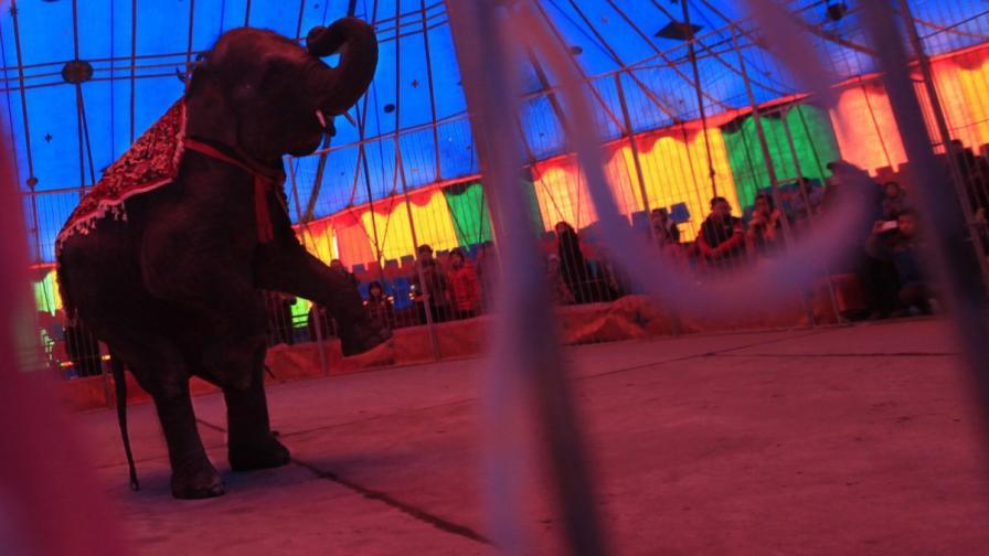 Слон избяга от цирк в Рим