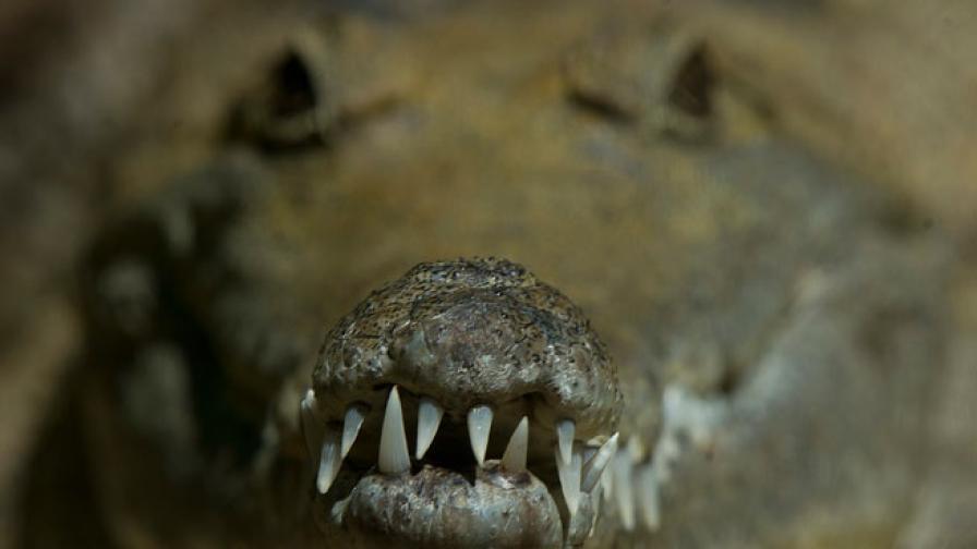 Мъж пребори крокодил с голи ръце, за да спаси сина си